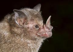 Sebas Shorttailed Bat Carollia perspicillata Costa Rica North America Kuvituskuvat