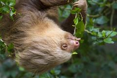 Hoffmanns Twotoed Sloth Choloepus hoffmanni feeding on tree leaves in Stock Photos