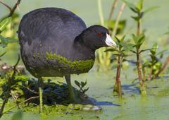 American Coot Fulica americana in a swamp covered with duckweed Brazos Bend - stock photo