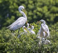 Stock Photo of Great Egrets Ardea alba with nestlings at a rookery Texas USA