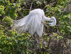 Great Egret Ardea alba in breeding plumage preening near the nest Texas USA - stock photo