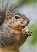 Fox Squirrel Sciurus niger feeding on a pecan Brazos Bend State Park Texas USA Stock Photos