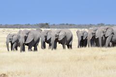 Herd of African Elephants Loxodonta africana Etosha National Park Namibia Africa Stock Photos