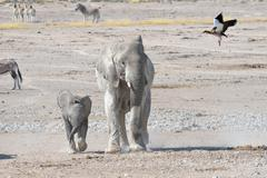African Elephant Loxodonta africana with young and Egyptian Goose Alopochen - stock photo