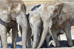 African Elephants Loxodonta africana covered with dried mud drinking at Stock Photos