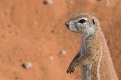 Cape Ground Squirrel Xerus inauris Kgalagadi Transfrontier Park Northern Cape - stock photo