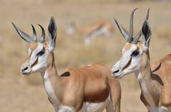 Springboks Antidorcas marsupialis adult and young Kgalagadi Transfrontier Park - stock photo