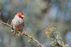 Redheaded Finch Amadina erythrocephala male perched on a branch Kgalagadi - stock photo