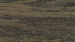 AERIAL United Kingdom-Red Deer On Rannoch Moor Stock Footage