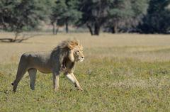 Lion Panthera leo adult male walking in the grass Kgalagadi Transfrontier Park - stock photo