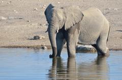 African Bush Elephant Loxodonta africana male drinking at a waterhole Etosha Stock Photos
