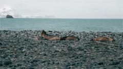 Seals sunbathe on the stone beach Stock Footage