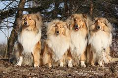 Group of scotch collies in the forest - stock photo