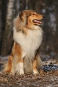 Beautiful scotch collie in the forest - stock photo