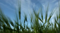 Stalks And Ears Of Wheat Swaying In The Blue Sky Stock Footage