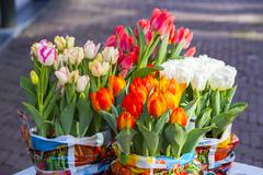 Tulips Tulipa in bulk containers Alkmaar North Holland The Netherlands Europe - stock photo