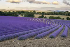 Stock Photo of Blooming Lavender field RevestduBion AlpesdeHauteProvence