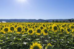 Field of blooming yellow sunflowers Oraison AlpesdeHauteProvence Stock Photos
