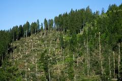 Windfall storm damage spruce forest Feldberg Black Forest BadenWurttemberg Stock Photos
