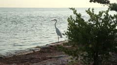 White Heron on shore line Fl Keys Stock Footage