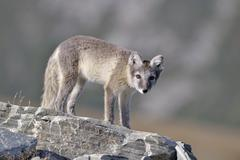 Arctic fox Vulpes lagopus Alopex lagopus young standing on a rock Kuvituskuvat