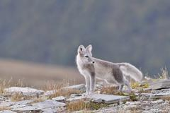 Arctic fox Vulpes lagopus Alopex lagopus young in Fjell - stock photo