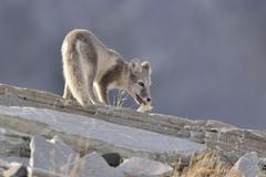 Arctic fox Vulpes lagopus Alopex lagopus Young playing with a bone Kuvituskuvat