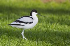 avocet ( recurvirostra avosetta) - stock photo