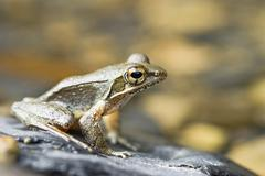 Taiwan Groovetoed Frog Rana sauteri on a stone East Asia Stock Photos