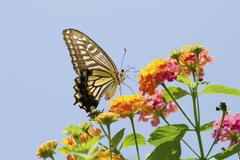 Stock Photo of Old World Swallowtail Papilio machaon on a lantana flower