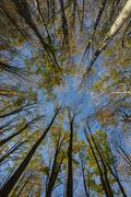 Autumn foliage of holm oaks from below Foreste Casentinesi National Park Italy Stock Photos