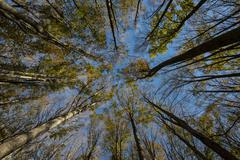 Autumn foliage of holm oaks from below Foreste Casentinesi National Park Italy - stock photo