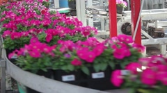Greenhouse Conveyer Belt Technology Petunias Stock Footage