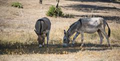 Two donkeys Equus africanus asinus grazing in the shade Corsica France Europe Stock Photos