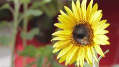 Close up of bee on rich sunflower picking honey Stock Footage
