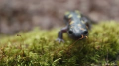 Stock Video Footage of Spotted Salamander Amphibian Crawling Down Moss