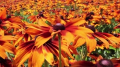 Black Eyed Susan Flowers Blowing In Wind Stock Footage