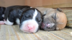 one week old amstaff puppies sleeping - stock footage