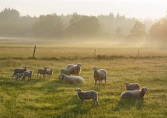Flock of sheep in the morning light on Simssee Sochtenau Chiemgau Alpine Stock Photos