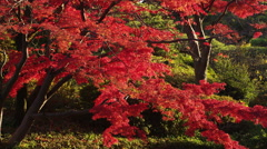 Autumn Flame Maple Tree with a Pond in the Park Stock Footage