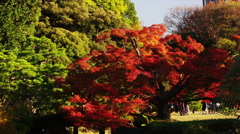 Autumn Flame Maple Tree with amongst other Trees in the Park Stock Footage