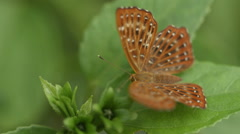 Pretty brown butterfly sitting on a leaf and flying away Stock Footage