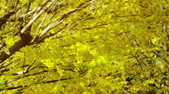 Gingko Trees with Yellow Leaves in Autumn in the Park - stock footage