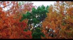 Autumn Flame Maple Tree amongst Green Trees in the Park Stock Footage