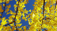 A Gingko Tree with Yellow Leaves in Autumn in the Park against the Blue Sky - stock footage