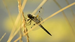 Four-Spotted Skimmer,Libellula quadrimaculata Stock Footage