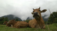 Indian cow grazing grass on a field surrounded by mountains #1 Stock Footage