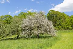 Blossoming apple tree Triefenstein Spessart Mainfranken Lower Franconia Stock Photos