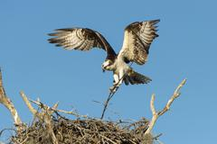 Osprey Pandion haliaetus at the aerie Everglades National Park Florida USA Stock Photos