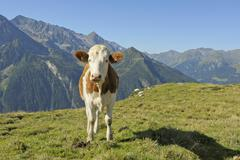 Cow on mountain pasture in the Tux Alps at Penken Finkenberg Tyrol Austria - stock photo
